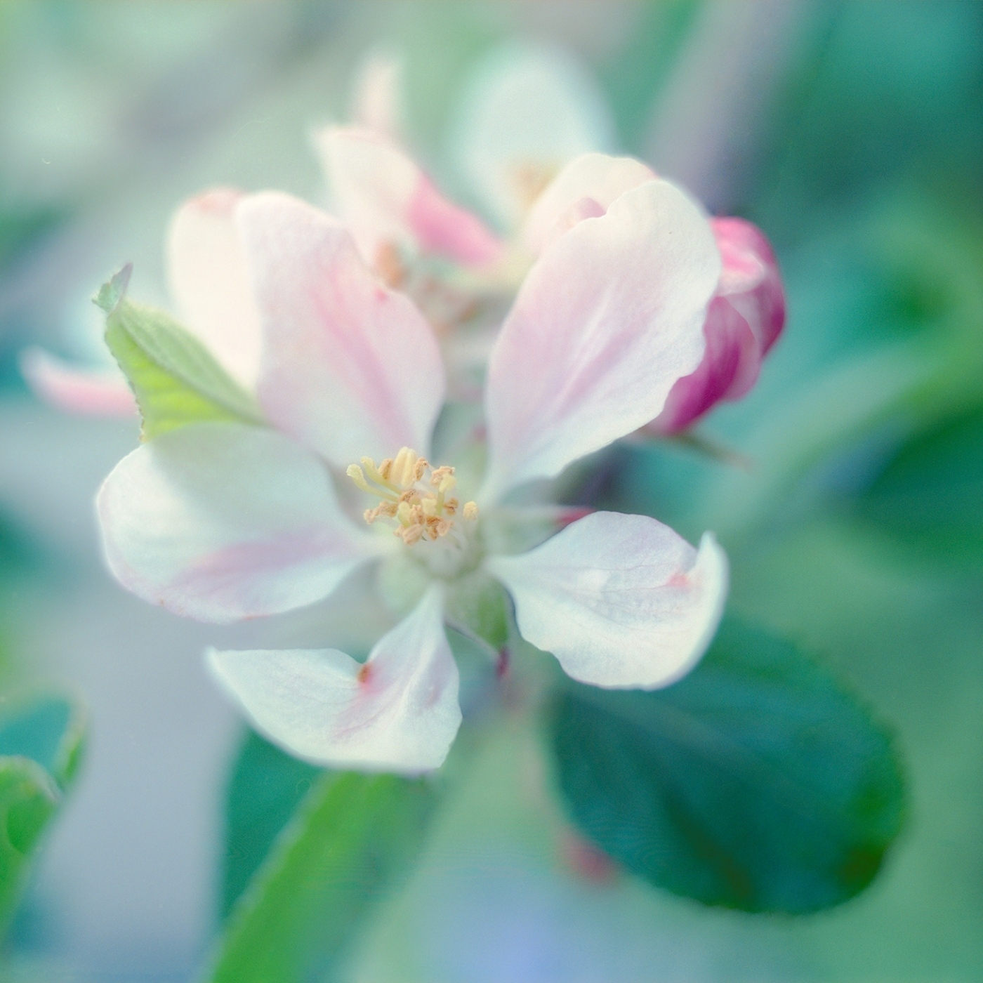 Apple blossom in my garden - an image taken on a old Mamiya c330f using a 55mm f4.5 lens on Pro-400H film. There's no EXIF data as I had no pencil and paper.