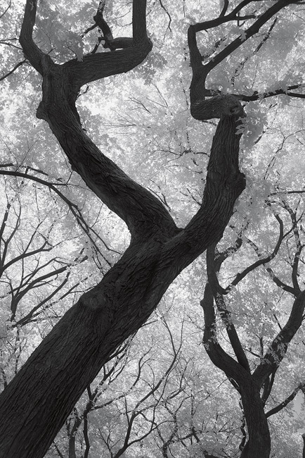 Trees in Central Park, photographed in infrared, New York